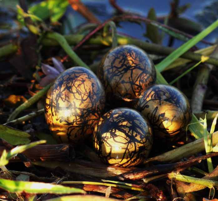 African Jacana nest and eggs ( May 2013 )