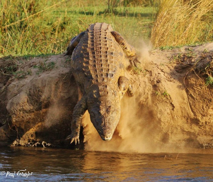 Nile Crocodile - Zambezi River
