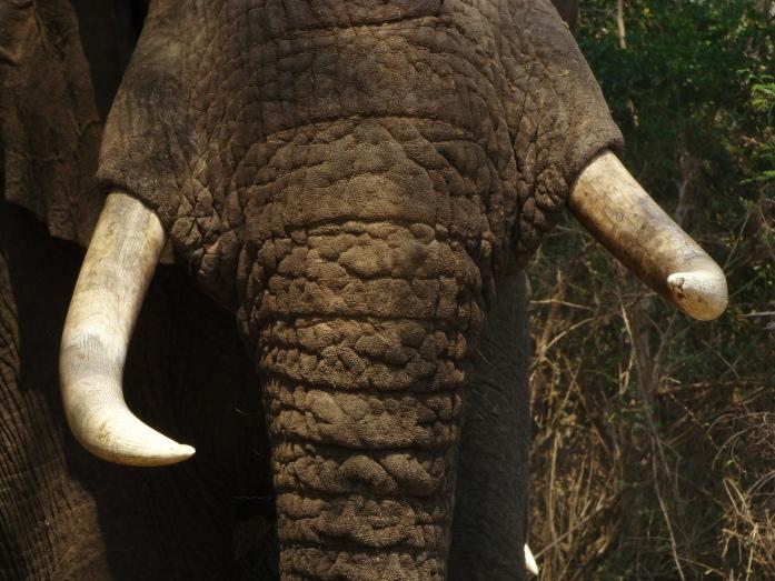 Elephant bull - Lefthook