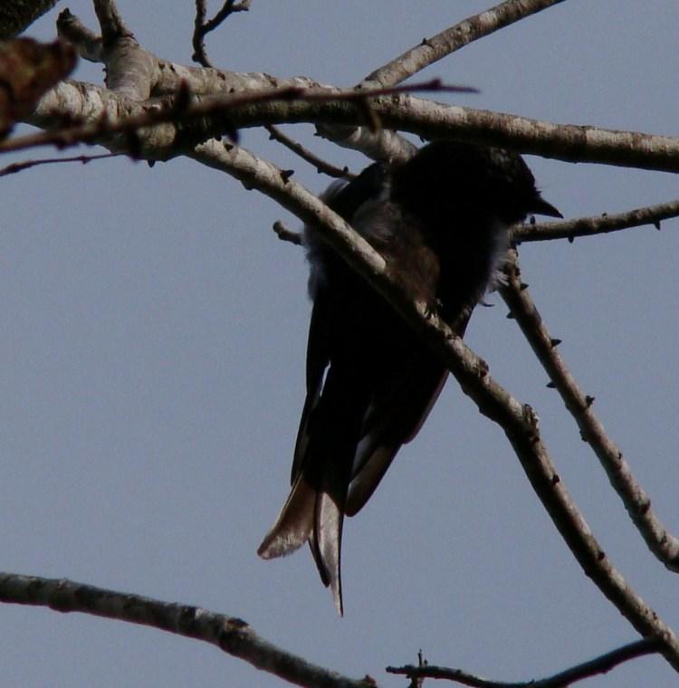 Fork-tailed Drongo in Lower Zambezi National Park - Zambia