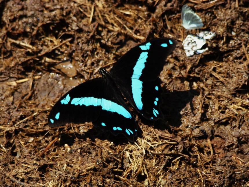 Greenbanded Swallowtail MALE (Papilio nireus ) - PAPILIONIDAE LZNP