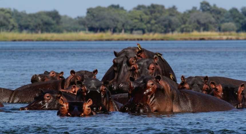 Hippo lying on sandbarr in  Zambezi River