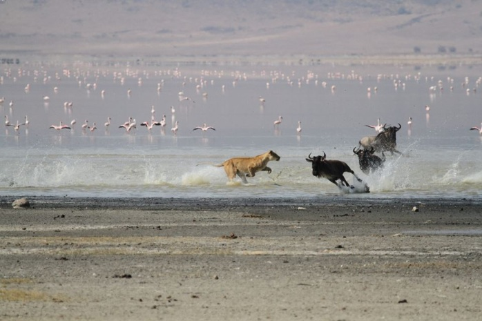 Lioness Chase Blue Wildebeest -Ngorongoro Crater 4 - Paul Grobler