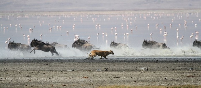 Lioness Chase Blue Wildebeest - Ngorongoro Crater 3 -Paul Grobler