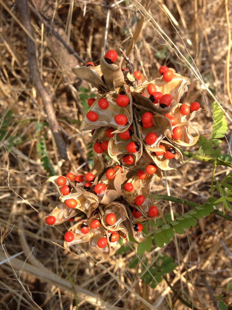 Lucky Bean Creeper plant - Seed pods - Lower Zambezi National Park - Paul Grobler