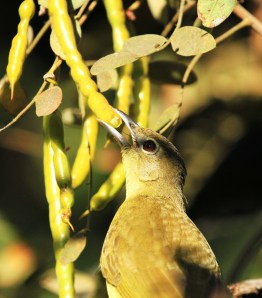 Yellowbellied Greenbul feding on Scrambled Egg bush seeds