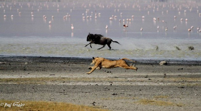 Lion and Blue Wildebeest chase - Ngorongoro Crater 2