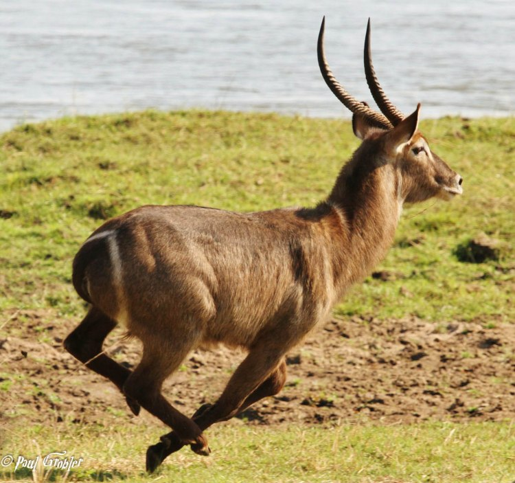 Waterbuck Bull - Lower Zambezi National Park
