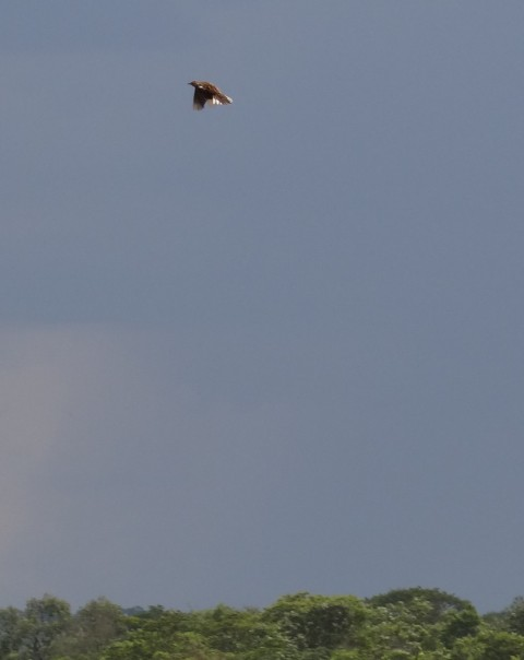 Grimwoods  Longclaw in flight - Chitunta Plain