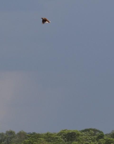 Grimwoods  Longclaw in flight - Chitunta Plain