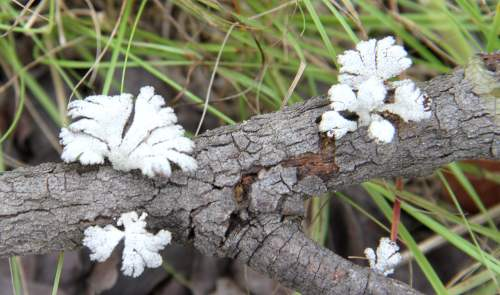 Schizophyllum commune (Split Gill)-Feb 2014 Mukuvisi Woods