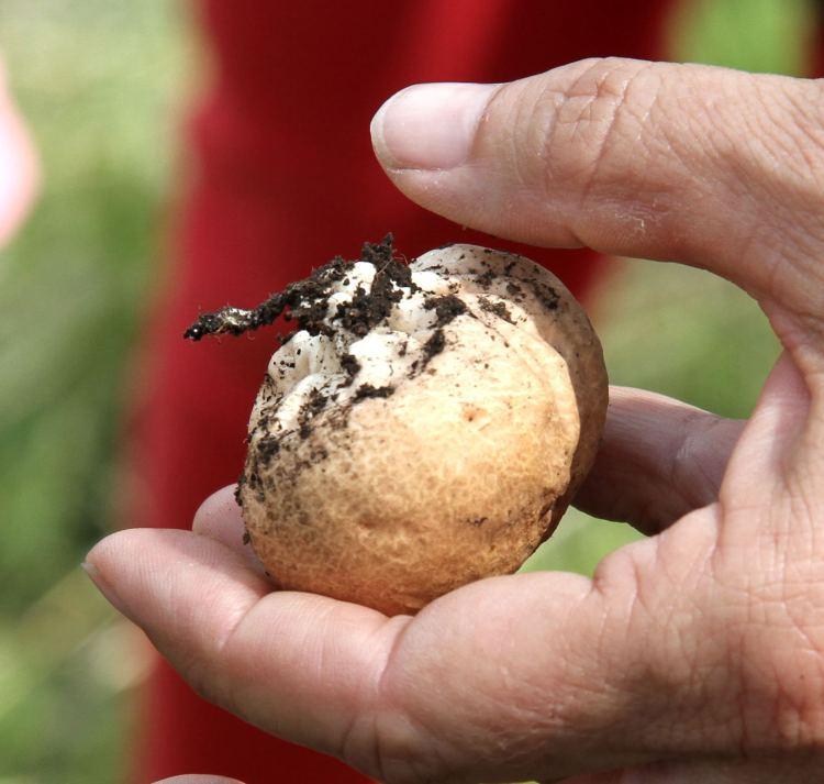 Scleroderma citrinum (Earth Ball) maybe - Feb 2014 Mukuvisi Woods