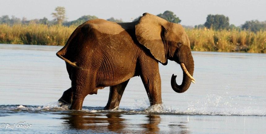Elephant Bull walk in Zambezi River - Paul Grobler