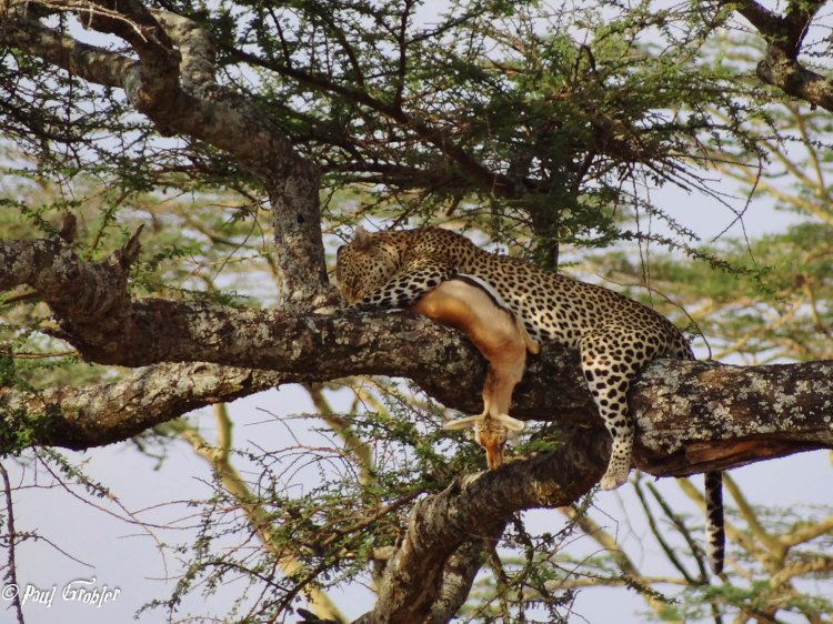 Leopard with kill in tree . Serengeti 2013 Aug - Paul Grobler