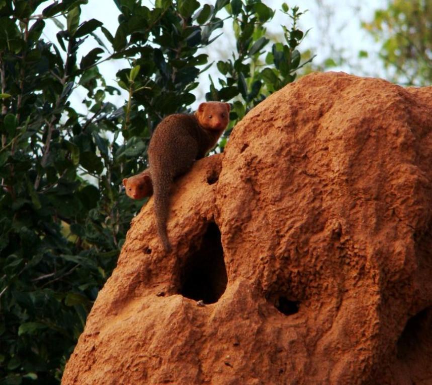 dwarf-mongoose-in-termite-mound